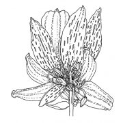 Catherine Scanlon Cling Mount Stamp - Lily AGC3-2848